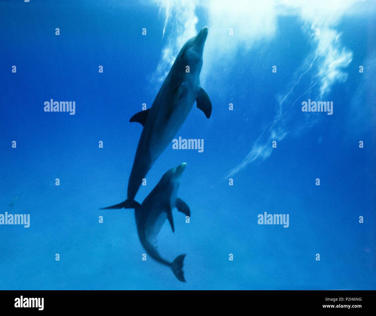 Dos delfines bajo el agua. Imagen De Stock