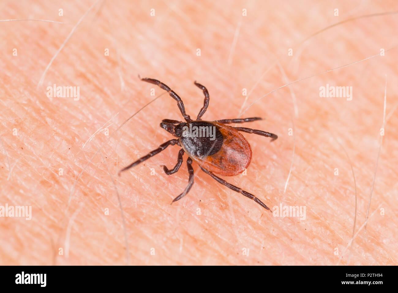 Una pulga hembra, Ixodes ricinus, arrastrándose sobre un brazo humano. Se encuentra en un área donde los ciervos y otros mamíferos están presentes. Esta garrapata es también conocido como Foto de stock