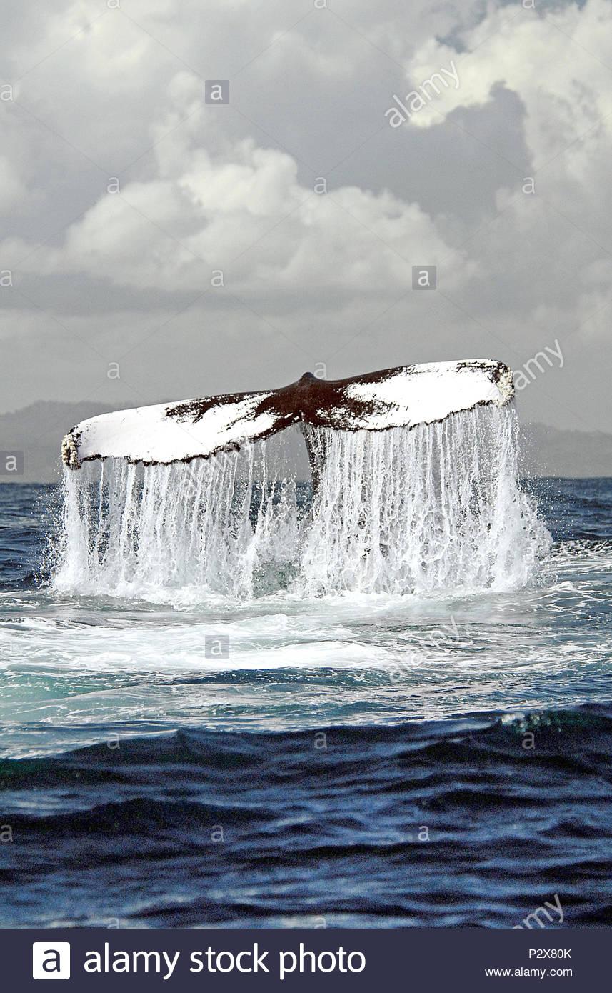 Descendente de la ballena jorobada (Megaptera novaeangliae) muestra su chiripas Silverbanks, República Dominicana Imagen De Stock