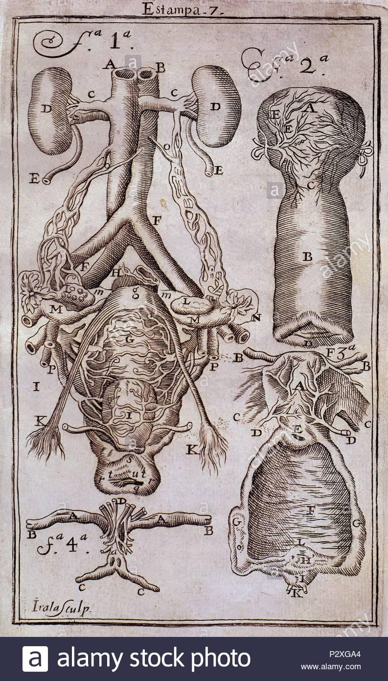 Único Las Vías Anatómicas Cursos Reino Unido Festooning - Imágenes ...