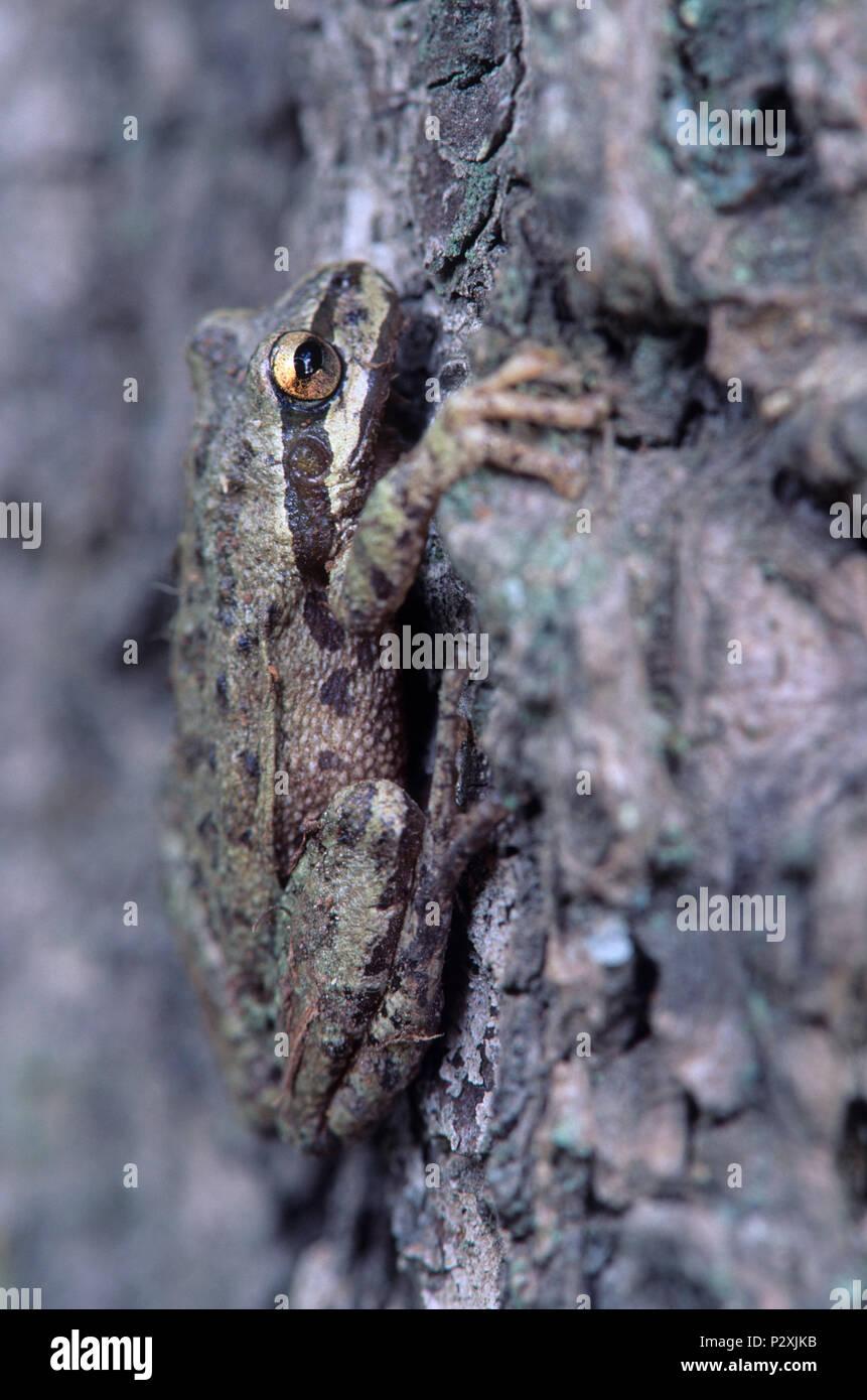 En Willow Tree Frog Prairie Horse Camp, Rogue River National Forest, Oregón Imagen De Stock