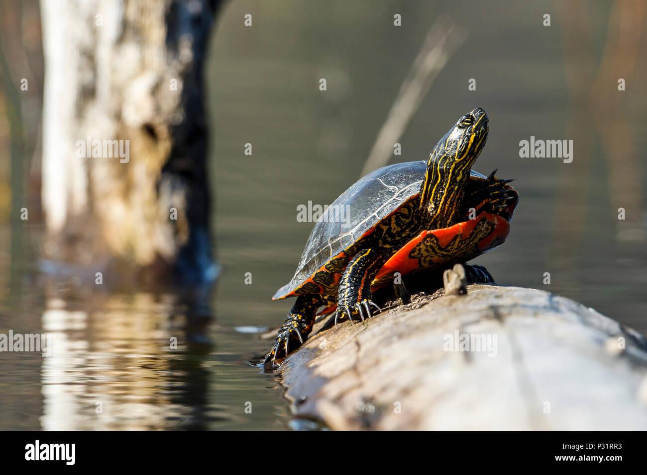 Una América la tortuga pintada (Chrysemys picta) se deleita en el sol en un registro sobre Fernan Lake en Idaho. Imagen De Stock