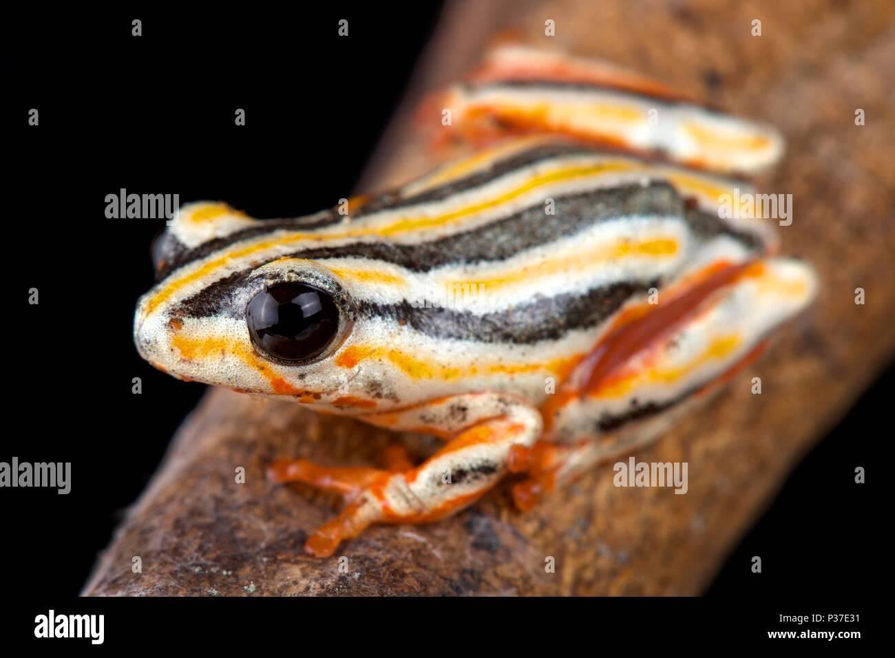 La pintada reed rana, Hyperolius marmoratus taeniatus es una especie de ranas reed espectaculares que se encuentran en África meridional. Imagen De Stock