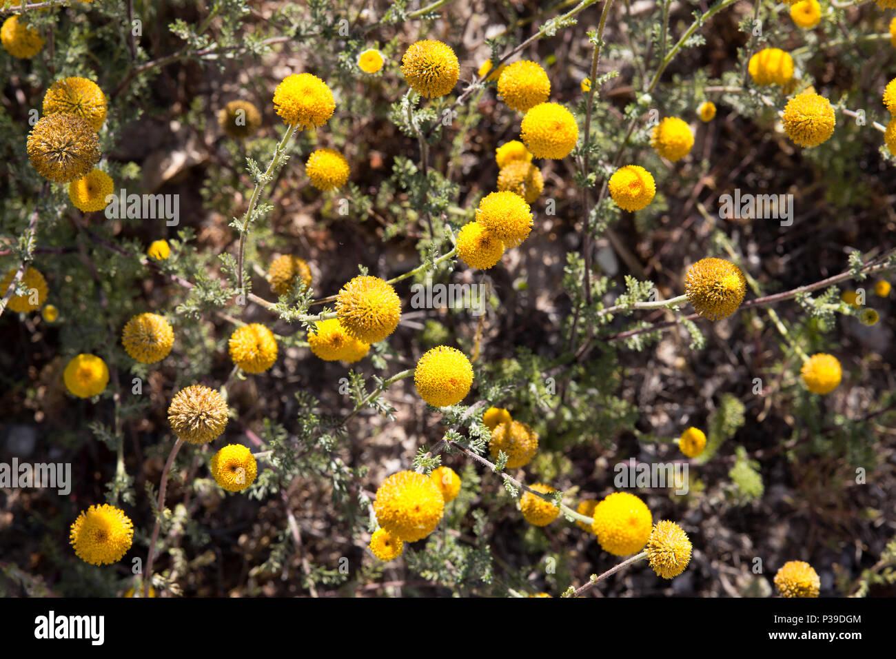 Fondo Amarillo De Hierbas Medicinales Flores Amarillas Santolina