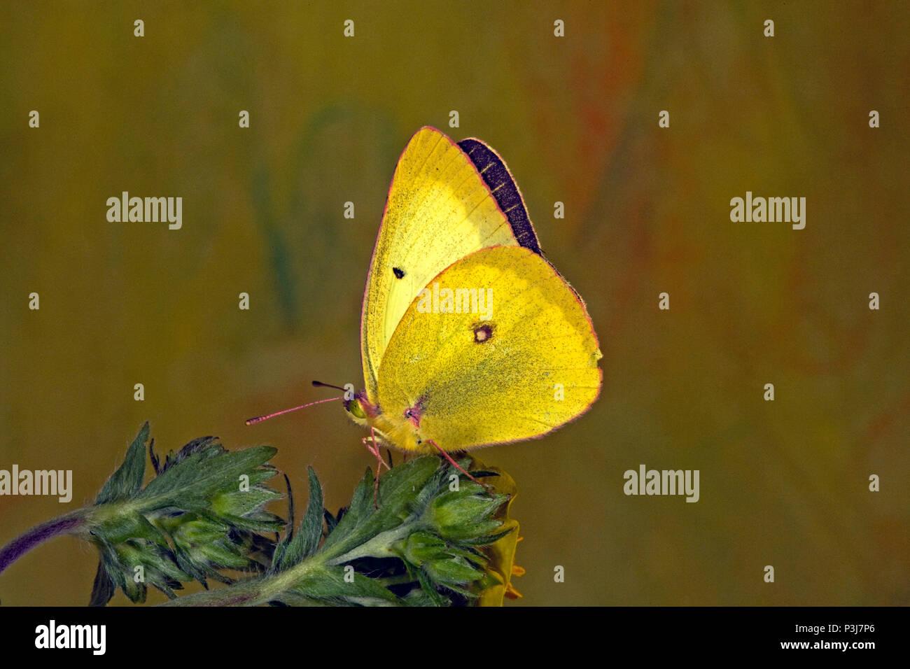 Retrato de un nublado, Colias philodice mariposas de azufre, preparando a beber el néctar de una flor silvestre en la cuenca Metolius en Cascade en Oregon Foto de stock