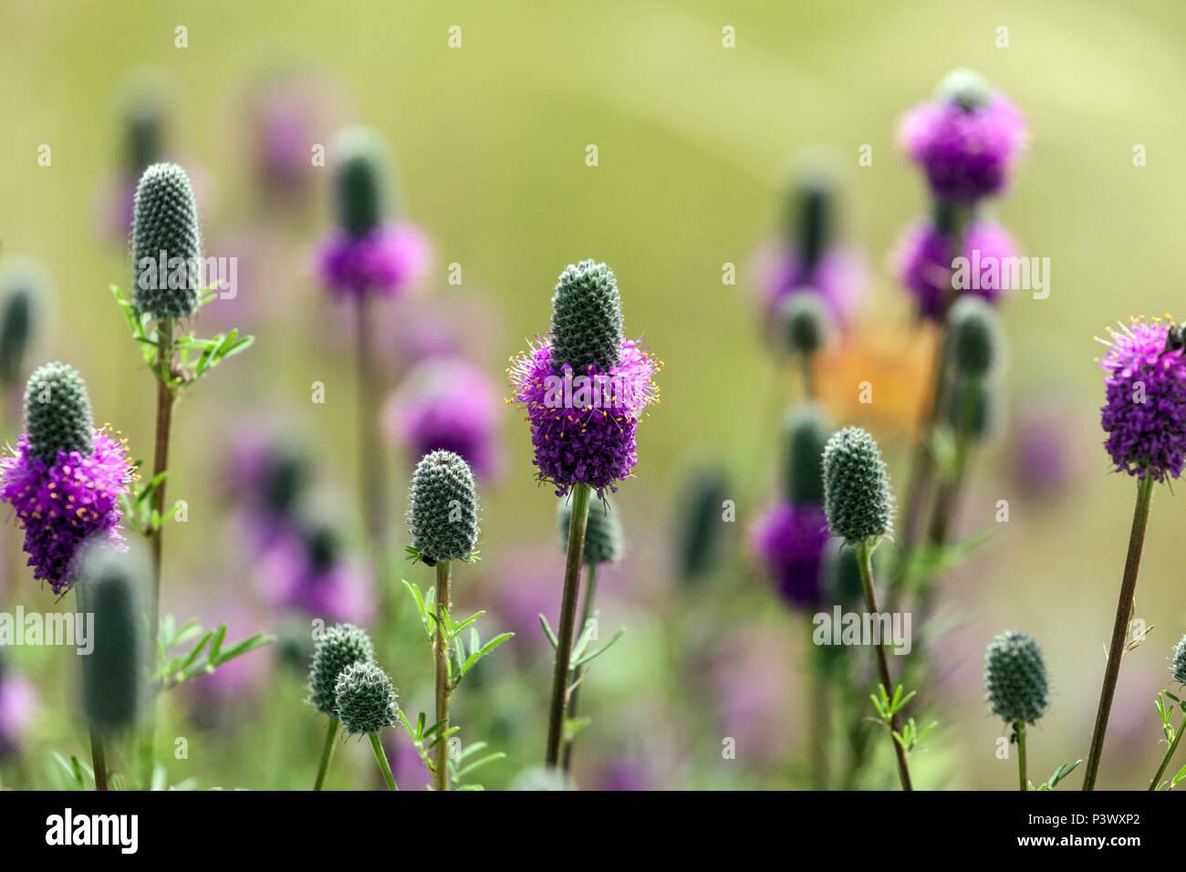 Praderas de trébol violeta, Dalea purpurea Foto de stock