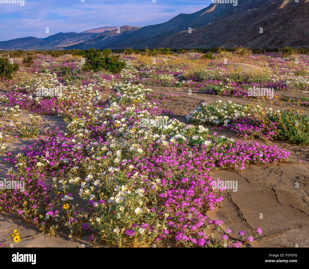 Verbena, Primrose, Henderson Canyon, Desierto Anza-Borrego State Park, CA. Imagen De Stock