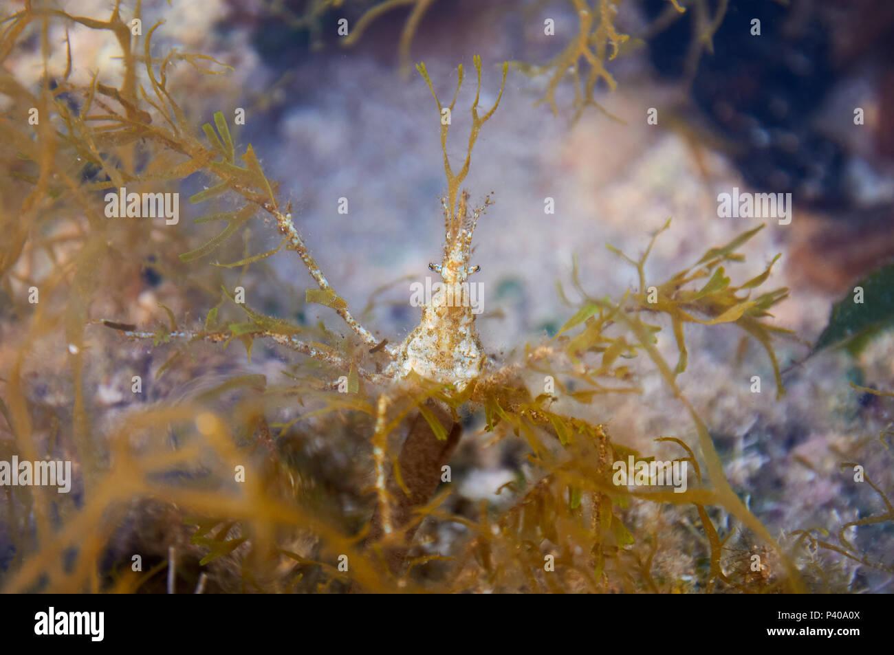 La centolla (Macropodia deflexa) camuflado con algas intermareales en una piscina en el Parque Natural de Ses Salines en Formentera, Islas Baleares, España) Foto de stock