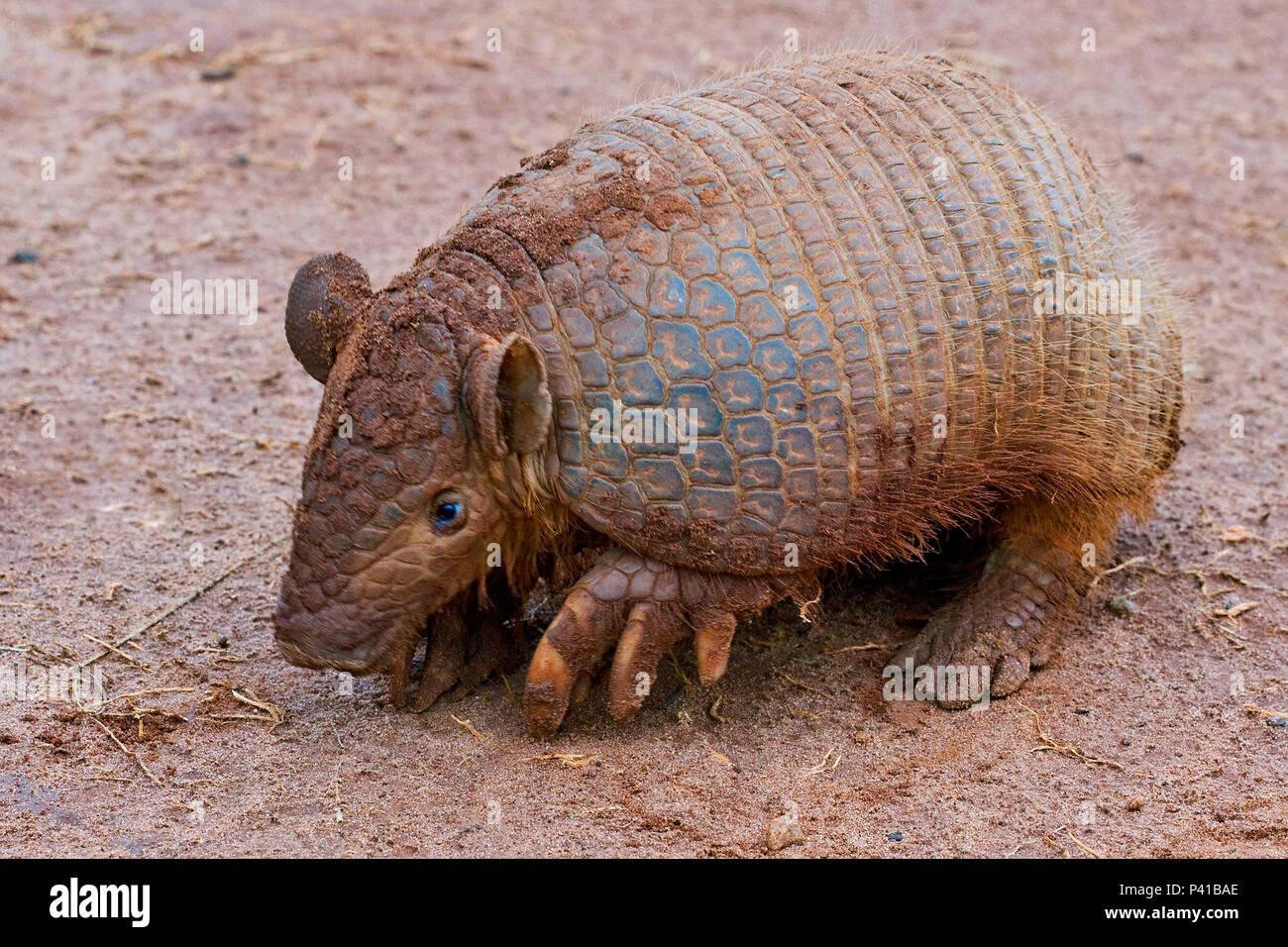 Tatu-peba; tatu-peludo; Euphractus sexcinctus; animal; fauna; Natureza; Pantanal; Aquidauana; Mato Grosso do Sul, Brasil Imagen De Stock