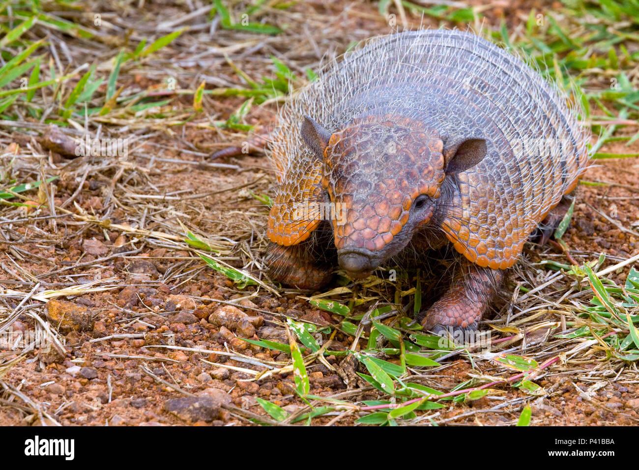 Tatupeba; tatu-Euphractus sexcinctus peludo;;; fauna animal; Natureza; Pantanal; Aquidauana; Mato Grosso do Sul, Brasil Imagen De Stock