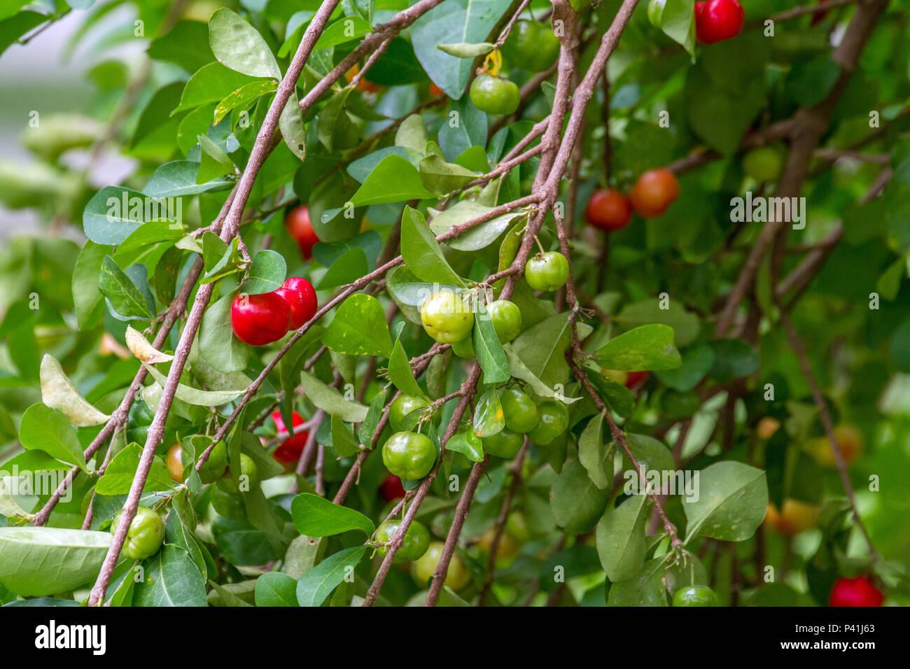 Aquidauana-MS antilhas cereja-de-barbados fruta fruta rica em Vitamina C saudável suco suco bebidas bebidas de fruta alimento líquido Imagen De Stock
