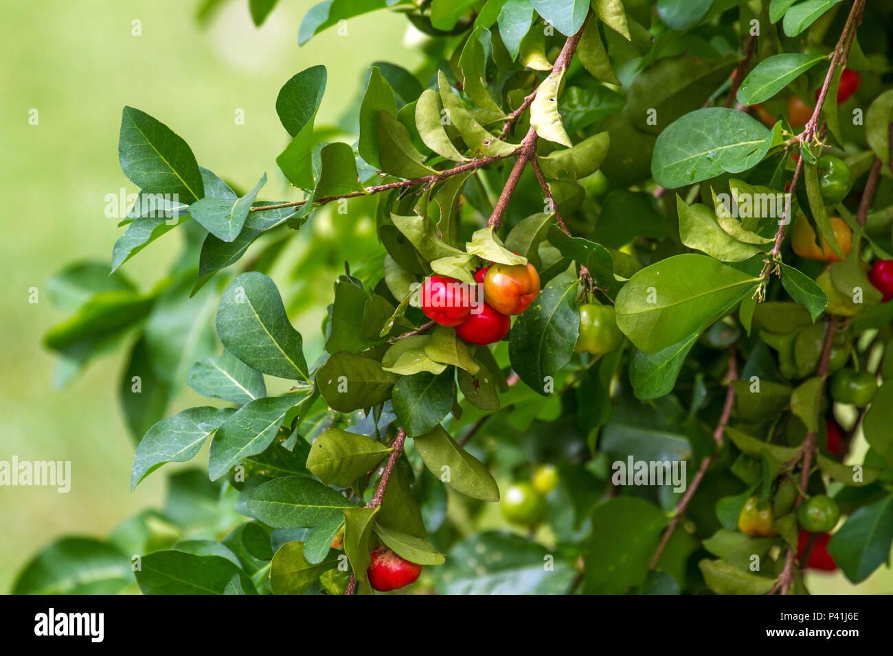 Aquidauana-MS Acerola Malpighia glabra L. cereja-das-antilhas cereja-de-barbados fruta fruta rica em Vitamina C saudável suco suco bebidas bebidas de fruta alimento líquido Imagen De Stock