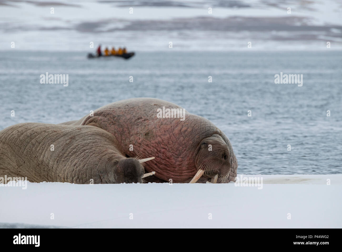 Noruega, Svalbard, Nordaustlandet, Austfonna. La morsa (Odobenus rosmarus) sobre el hielo. Adventure Travel zodiac en la distancia. Imagen De Stock