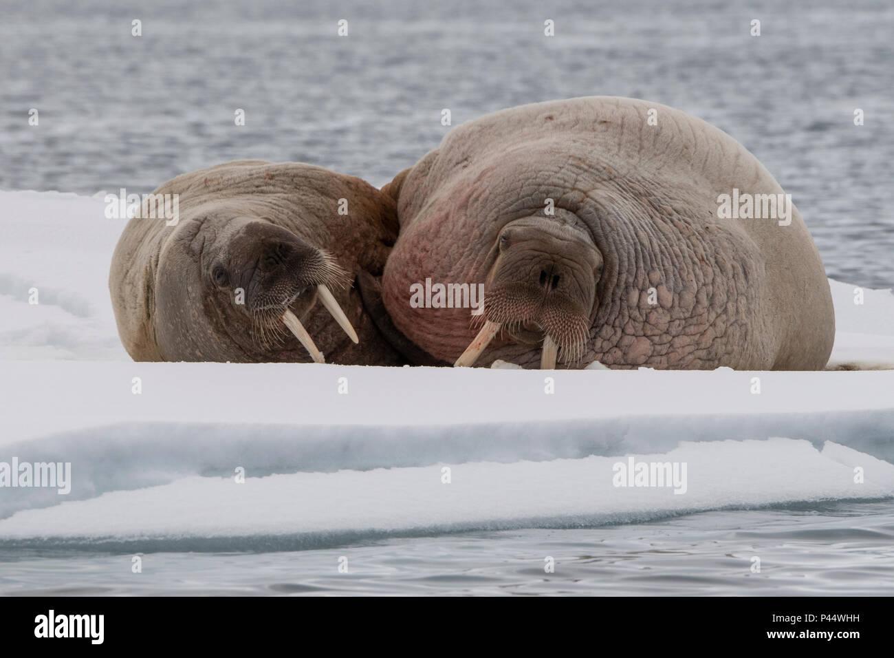 Noruega, Svalbard, Nordaustlandet, Austfonna. La morsa (Odobenus rosmarus) sobre el hielo. Imagen De Stock