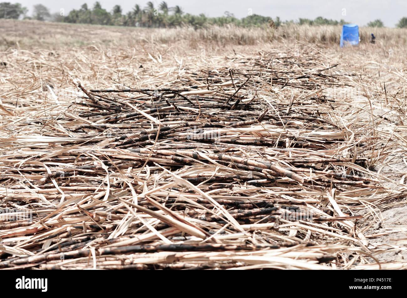 E Canaviais cortadores de cana. Na Estrada. Bahia-Brasil. 23/12/2012: (Foto: Mauro Akin Nassor / Fotoarena) Imagen De Stock