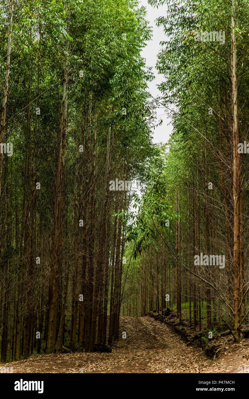 Águas da Prata, SP - 08/02/2015: Plantação de eucaliptus (Eucaliptus). (Foto: Alexandre Carvalho / Fotoarena) Foto de stock