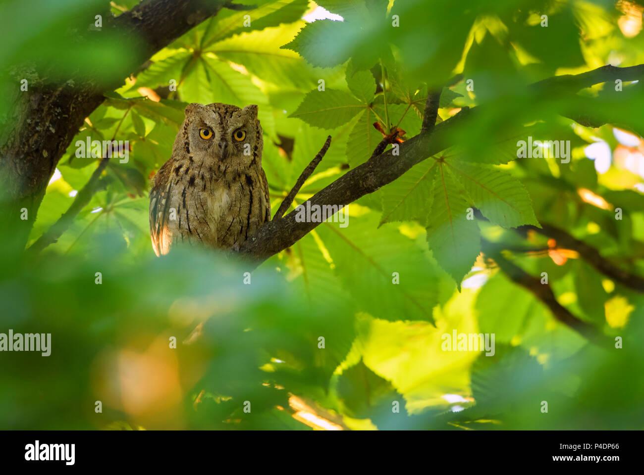 Autillo - autillo (Otus, bella y pequeña lechuza Europeo de selvas y bosques, montañas Rodope oriental, Bulgaria. Imagen De Stock