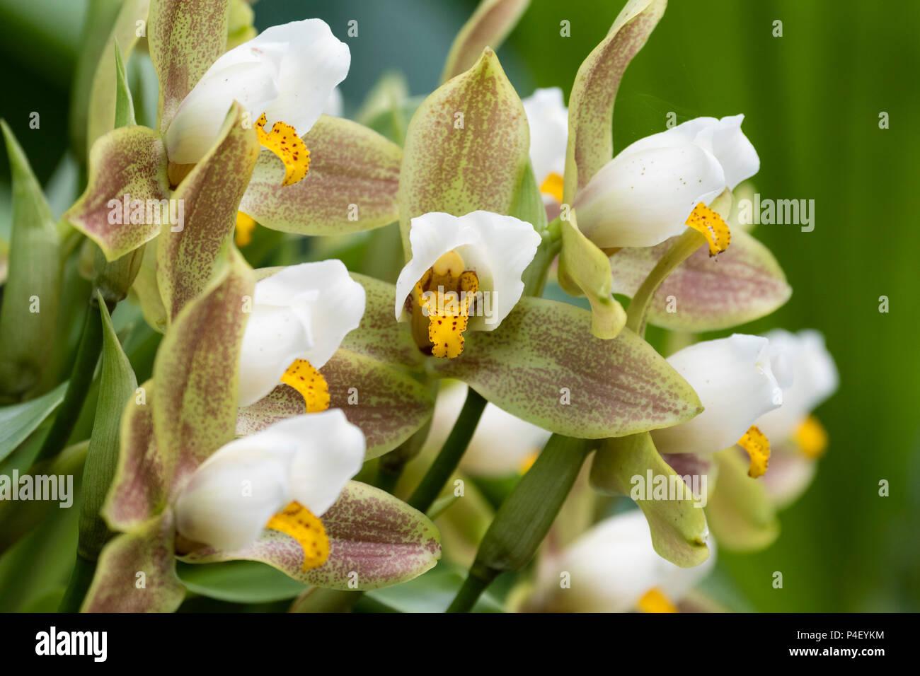 El marrón, el verde y el blanco de las flores de las orquídeas epifíticas, Lycaste deppei licitación Imagen De Stock