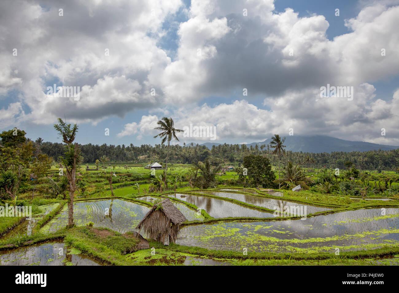 Las terrazas de arroz de Bali. Los hermosos y espectaculares campos de arroz. Verdaderamente un paisaje evocador. Imagen De Stock