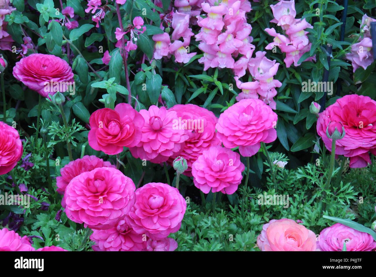 Rosa y melocotón ranúnculos y rosa dragones crecen en un lecho de flores en la primavera Foto de stock