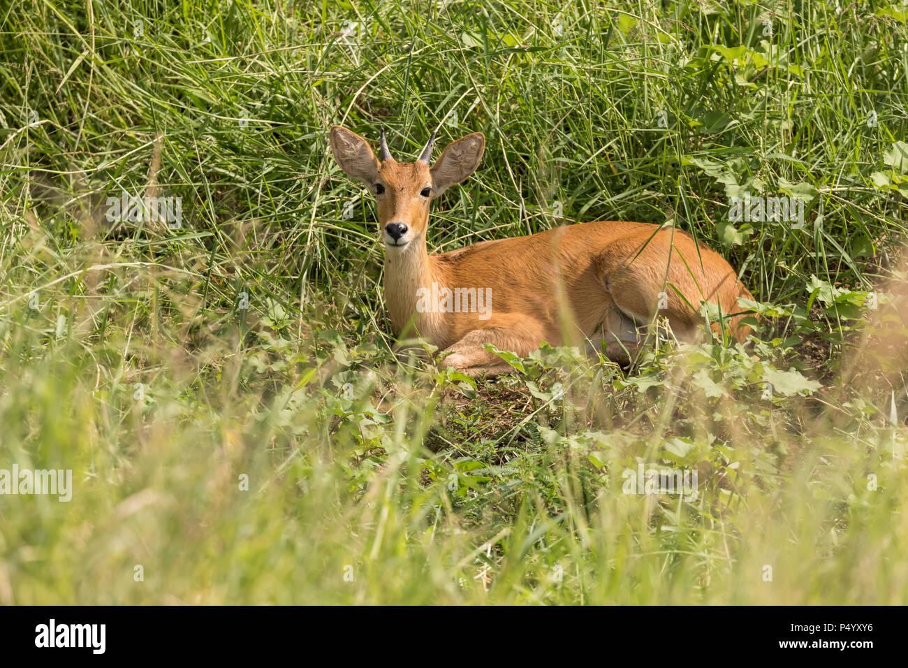 Reedbuck común (Redunca arundinum) descansando en la hierba alta en el Parque Nacional Tarangire, Tanzania Imagen De Stock