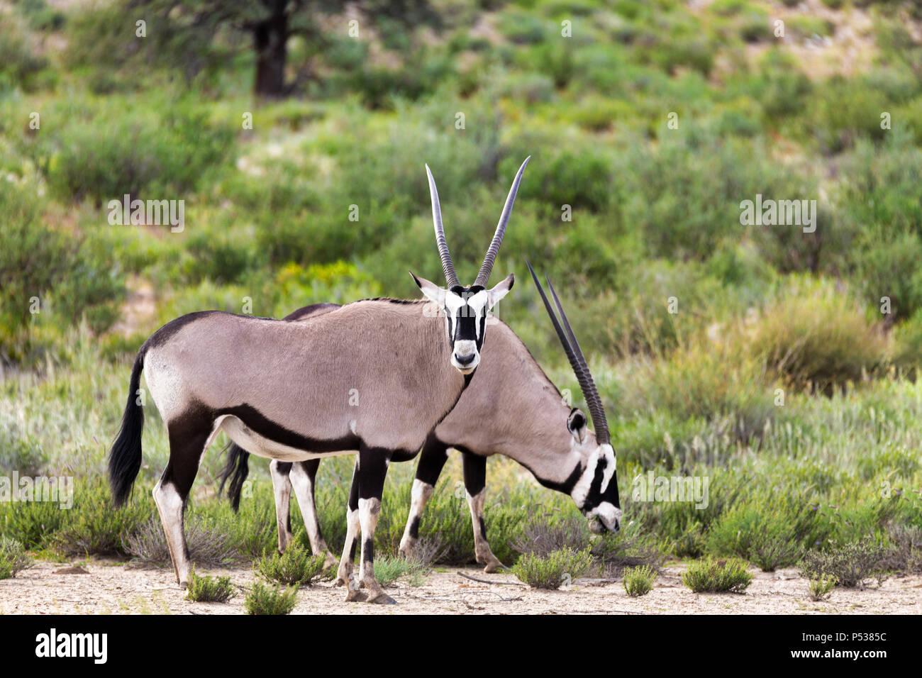 Gemsbok, Oryx gazella en el Kalahari, el desierto verde después de la temporada de lluvia. El Parque Transfronterizo Kgalagadi, Sudáfrica safari Foto de stock