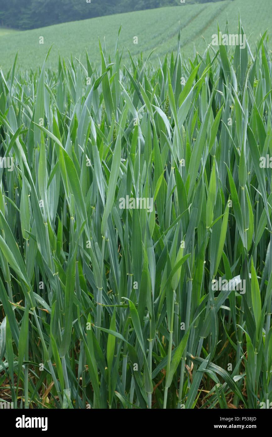Cultivos de trigo de invierno con hoja bandera y orejas en arranque, fase zadoks 45, Berkshire, Mayo Imagen De Stock