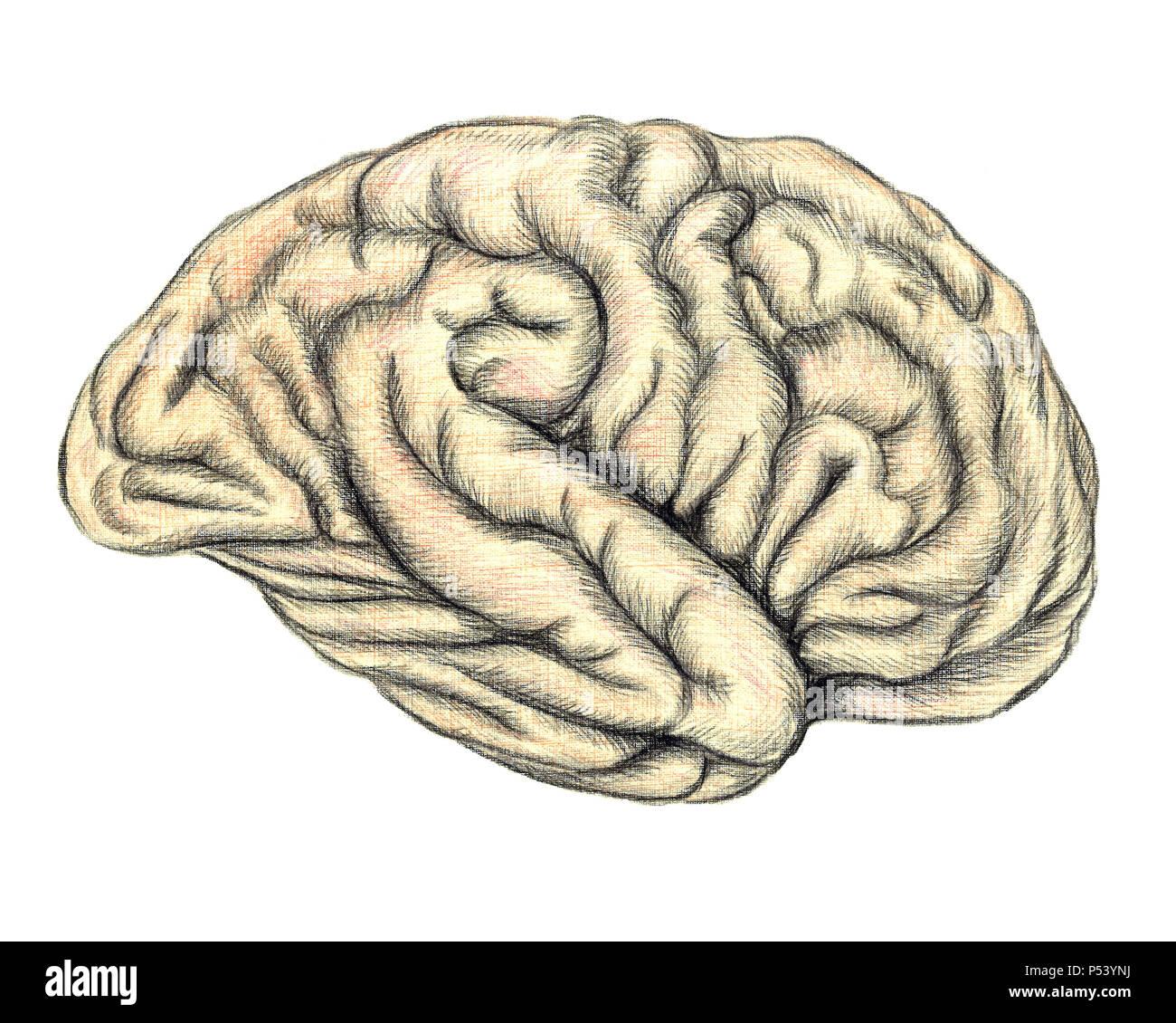 Vista lateral del cerebro humano, dibujadas a mano ilustración médica, lápices de colores para dibujar con imitación de litografía Imagen De Stock