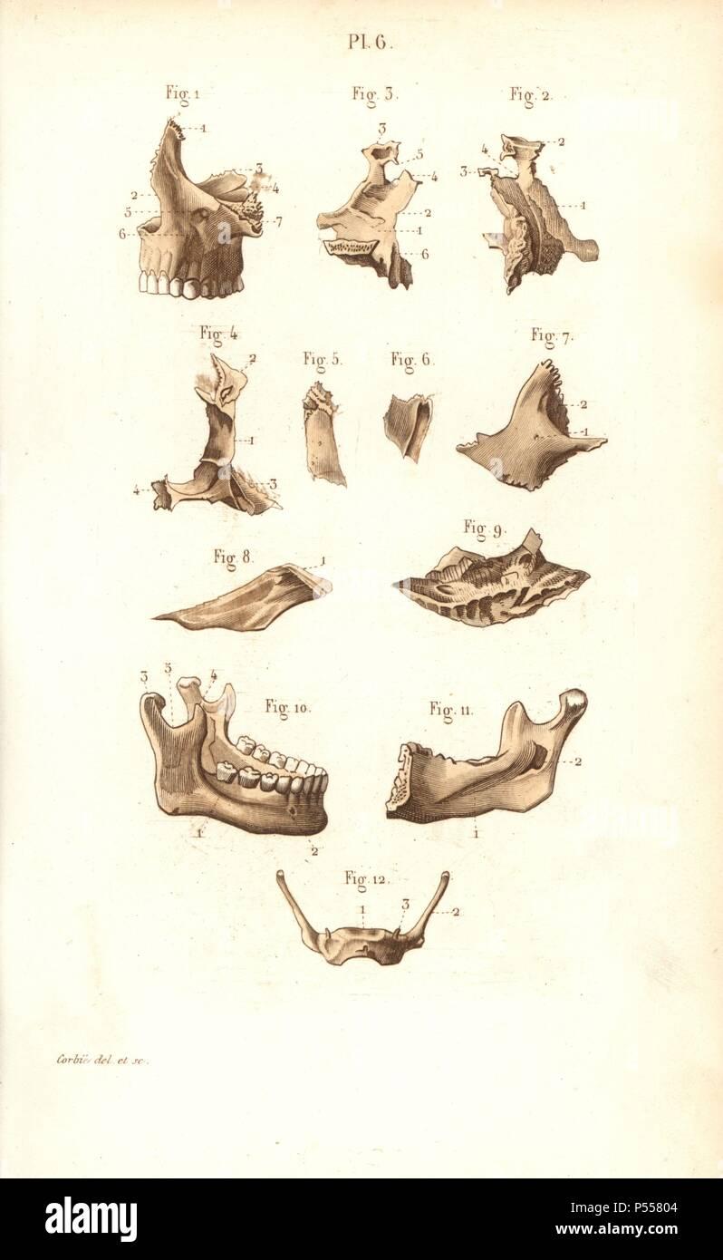 Los huesos maxilares. Por Corbie Handcolored acero grabado de un ...