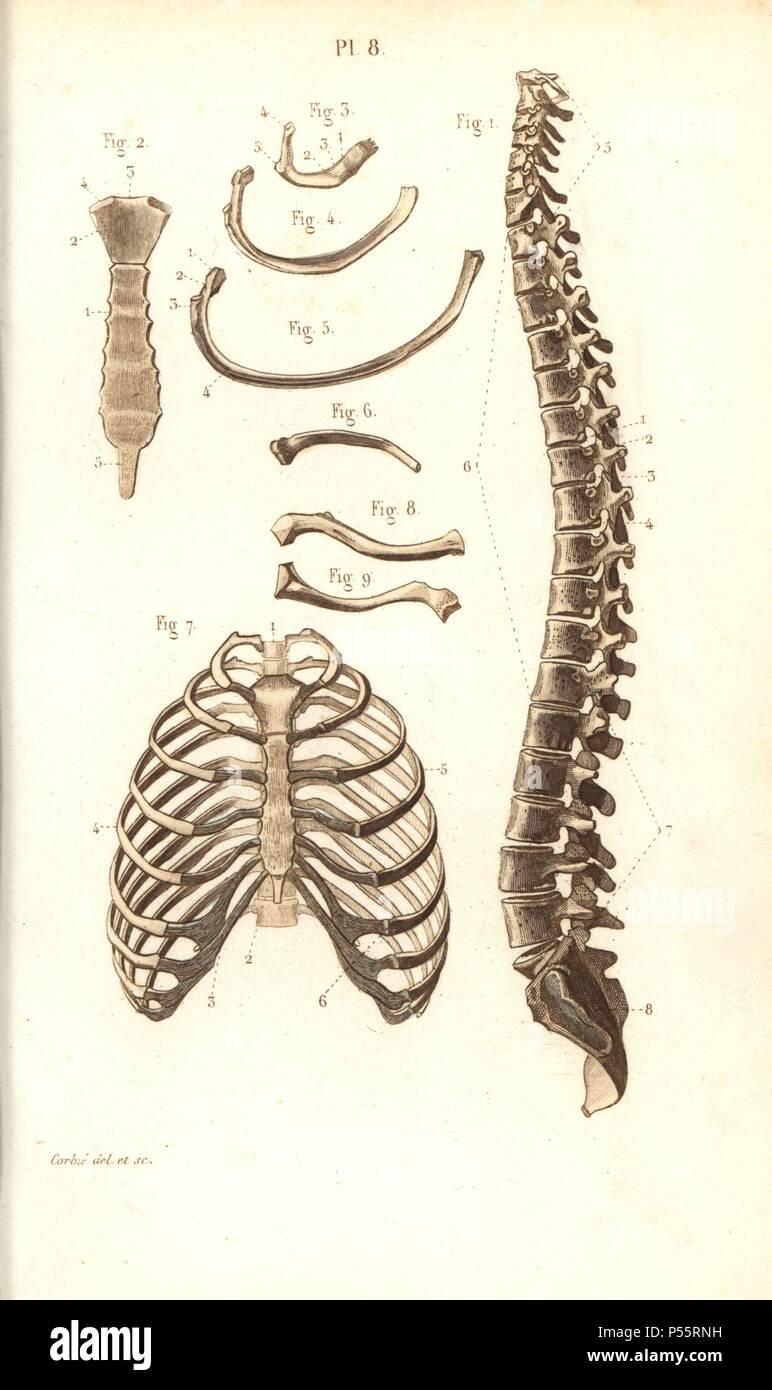 La columna vertebral, las costillas, las vértebras y esternón. Por ...