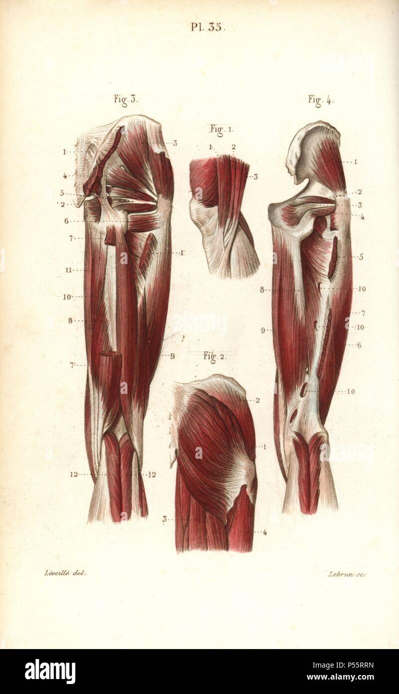 Los músculos y los tendones del muslo y rodilla. Handcolored acero ...