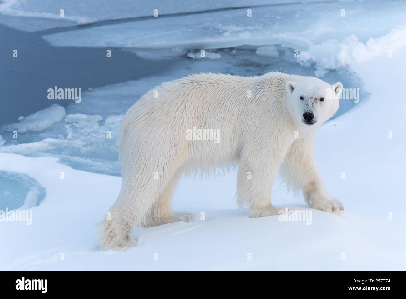 Oso Polar caminando a través de la nieve Imagen De Stock