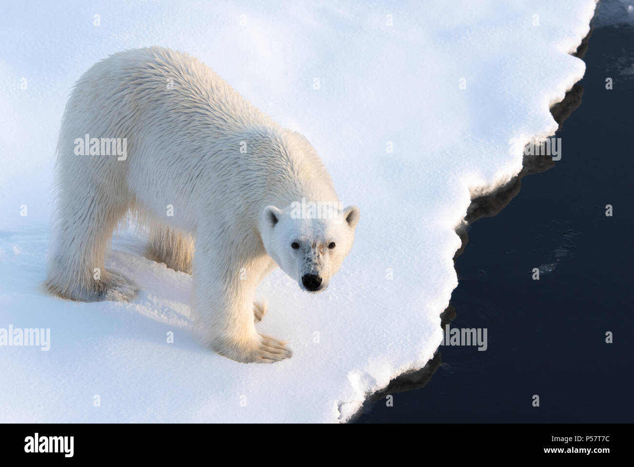 Cerrar el Oso Polar mirando a la cámara Imagen De Stock
