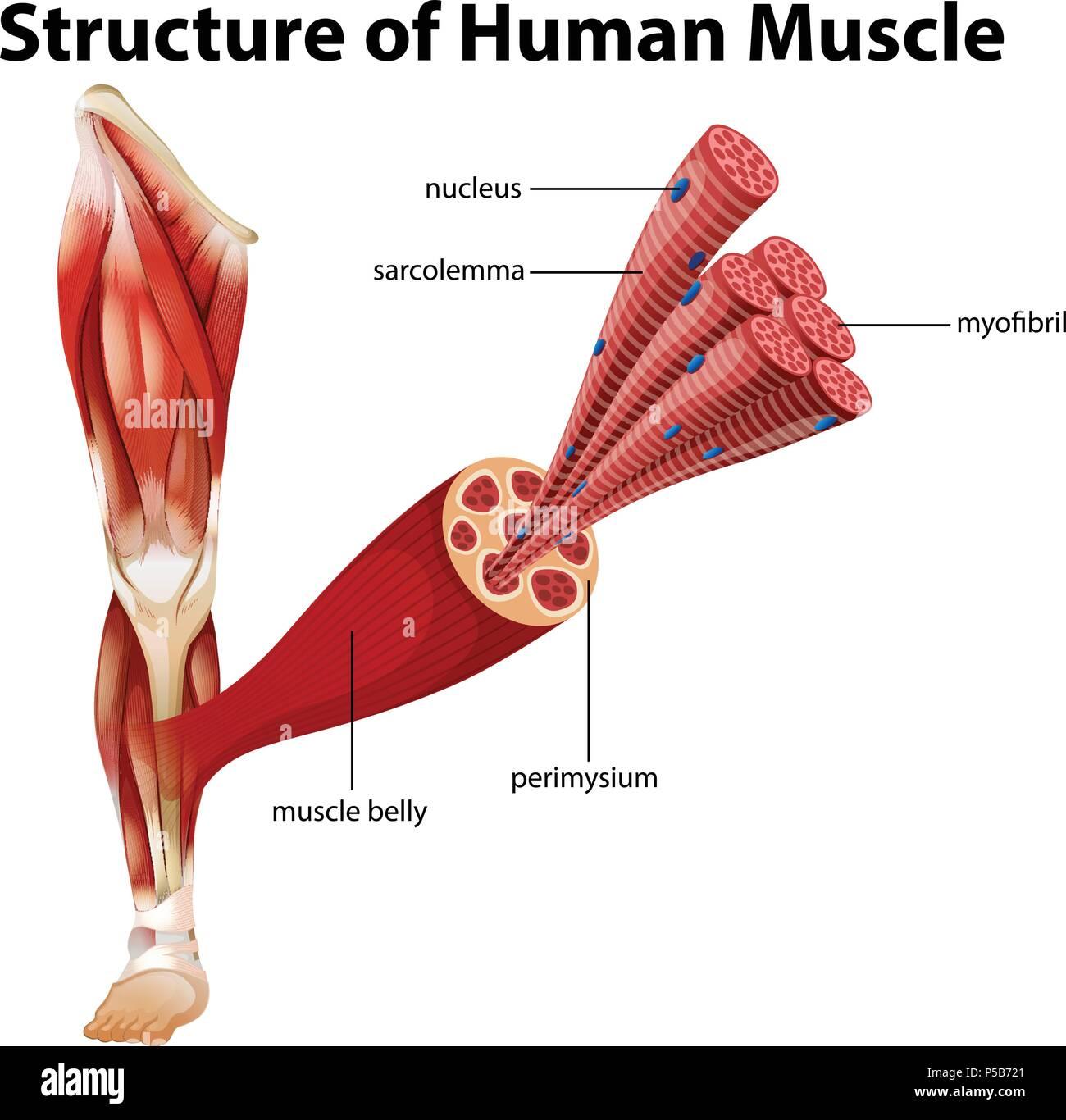 Una estructura de músculo humano ilustración Imagen De Stock