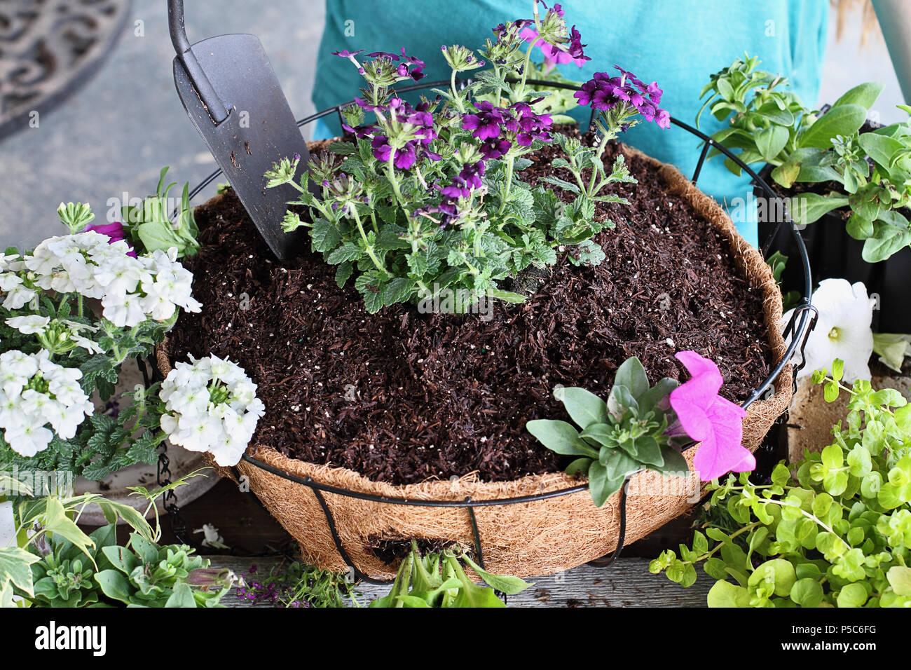 Demostración de un joven dando un tutorial sobre cómo plantar un colgaderas o en maceta de flores. Las flores incluyen la verbena, Petunias, sigilosas Jenny Foto de stock
