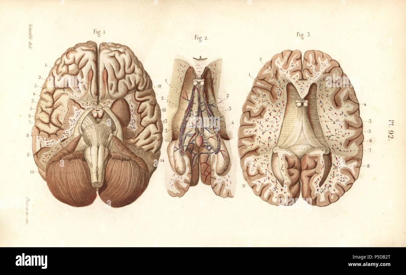 Las secciones a través del cerebro y la glándula pineal. Por Davesne ...