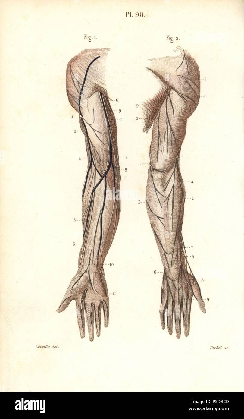 Los nervios del brazo y de la mano. Por Corbie Handcolored acero ...