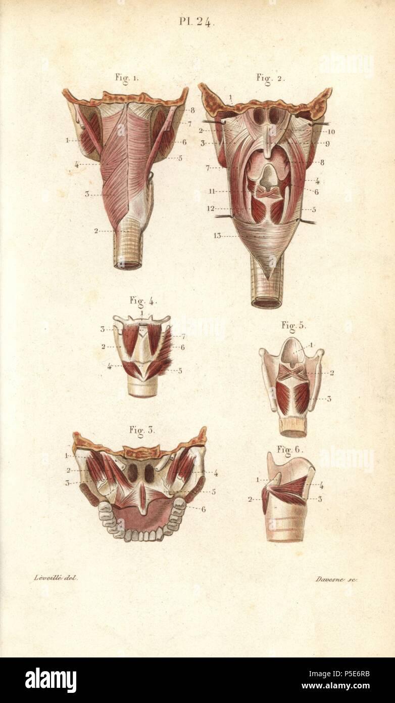 Músculos de la faringe y la laringe. Por Davesne Handcolored acero ...