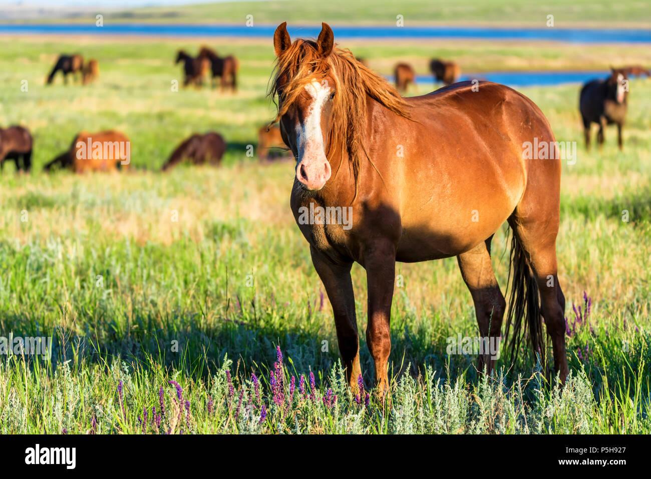 Caballos salvajes pastan en la pradera de verano Imagen De Stock