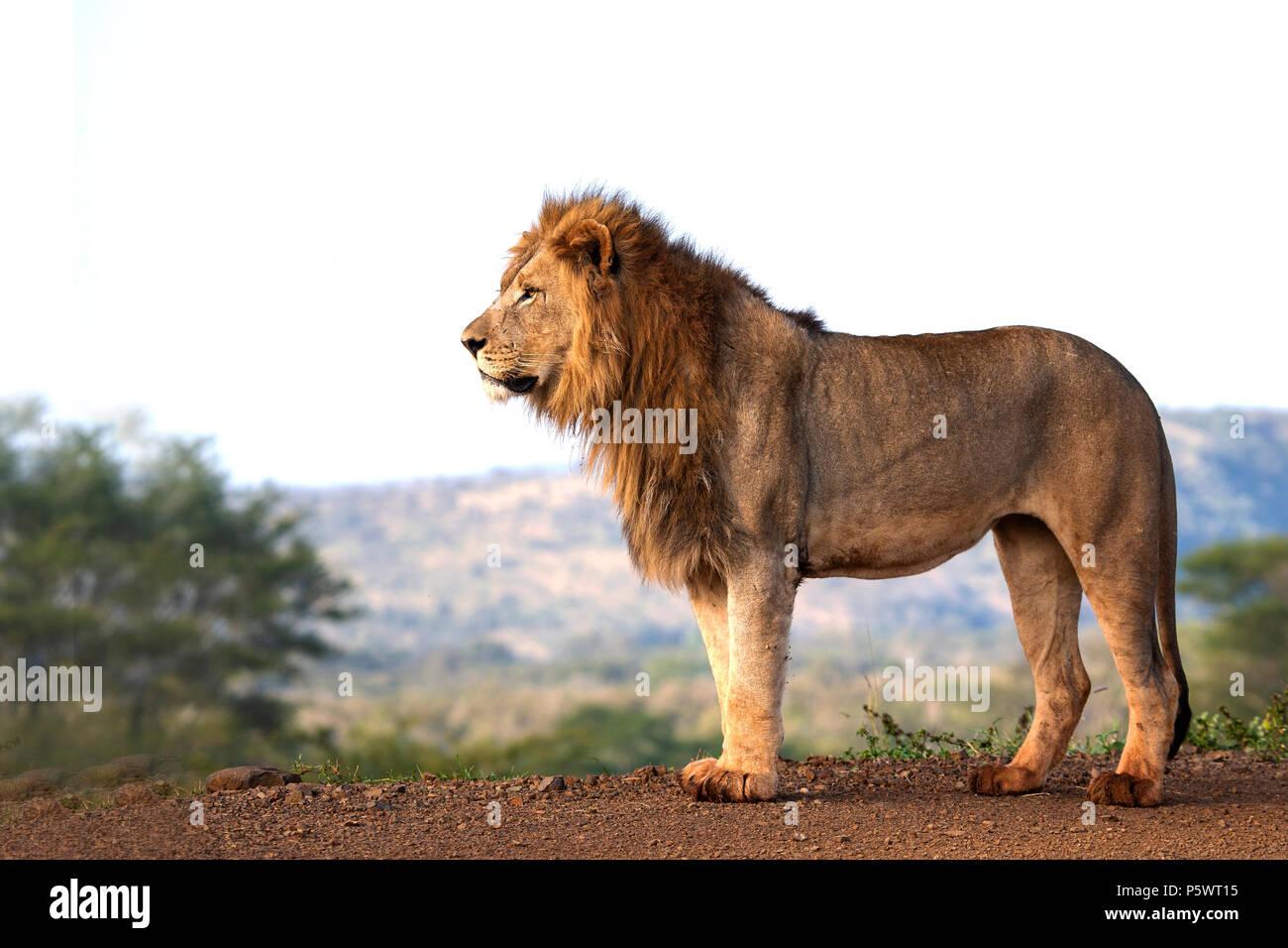 León macho Panthera leo visto al nivel de los ojos y parado en perfil en la reserva de caza de África Foto de stock