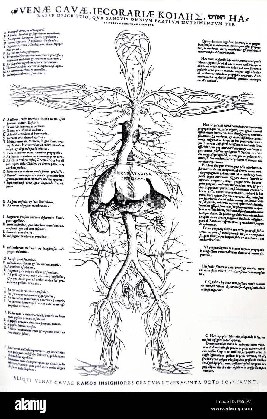 Excelente Diagrama De Cuerpo Hígado Imagen - Imágenes de Anatomía ...