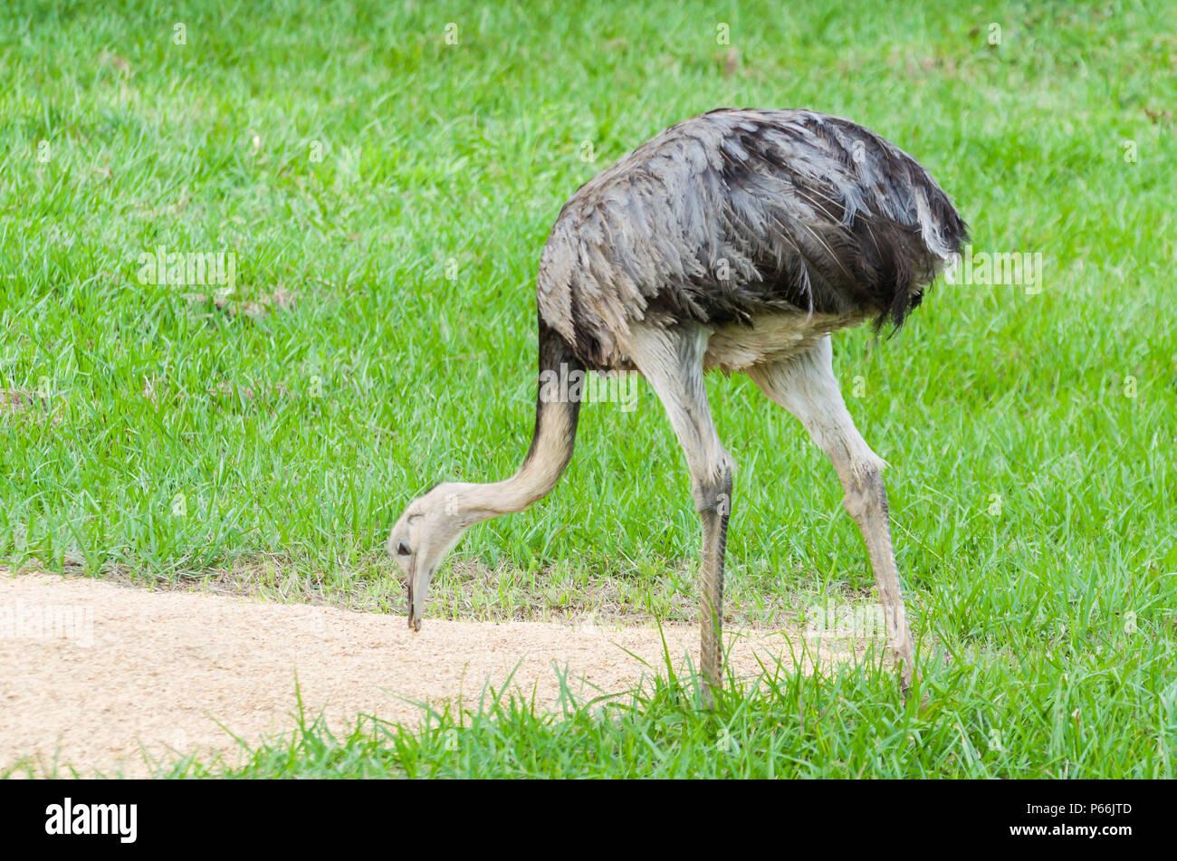 Emu Nandu Imágenes De Stock Emu Nandu Fotos De Stock Alamy