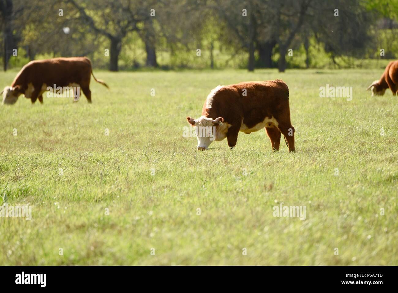 Vaca Hereford descendió Johnson's registrados de la manada de ganado Hereford, Lyndon B. Johnson National Historical Park, Texas, EE.UU. Foto de stock