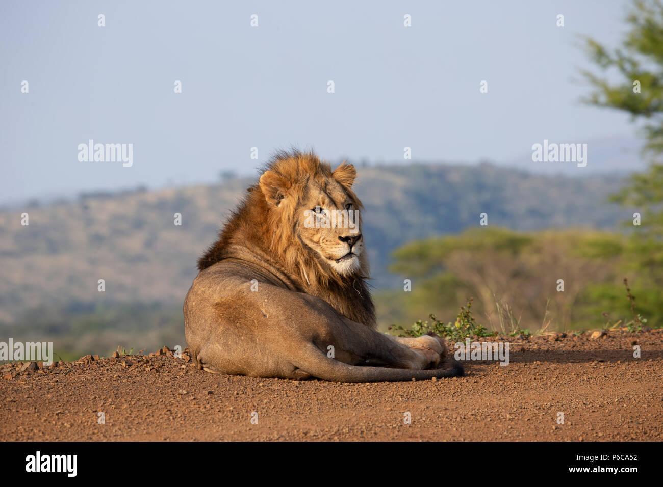 Panthera leo el león macho descansando en el sol temprano en Zimanga Private Game Reserve, Sudáfrica Foto de stock