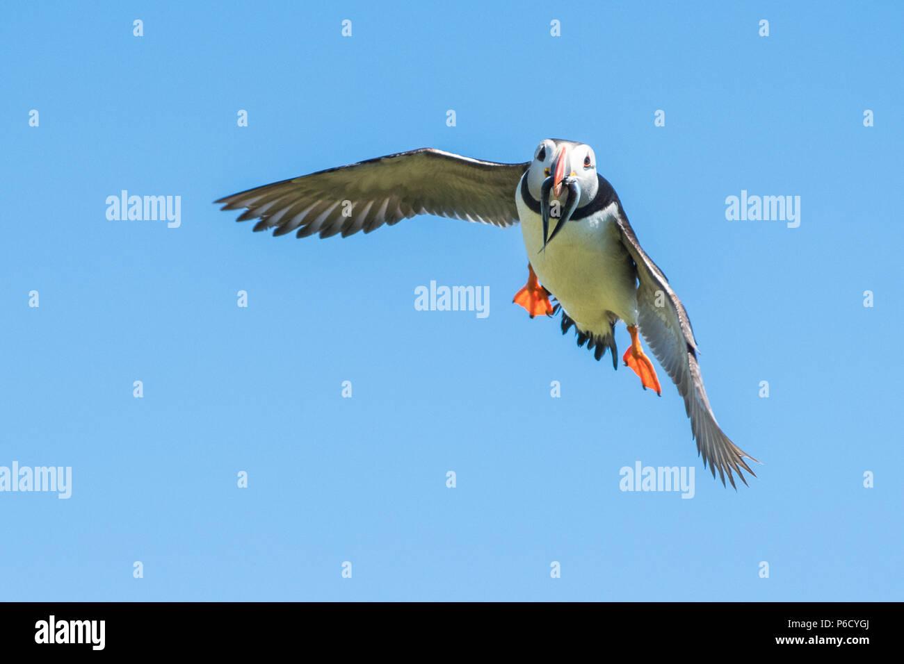 - Atlántico PUFFIN Puffin - volando con el pico lleno de anguilas de arena pescados - Fratercula arctica - en vuelo, Isla de Mayo, Scotland, Reino Unido Foto de stock