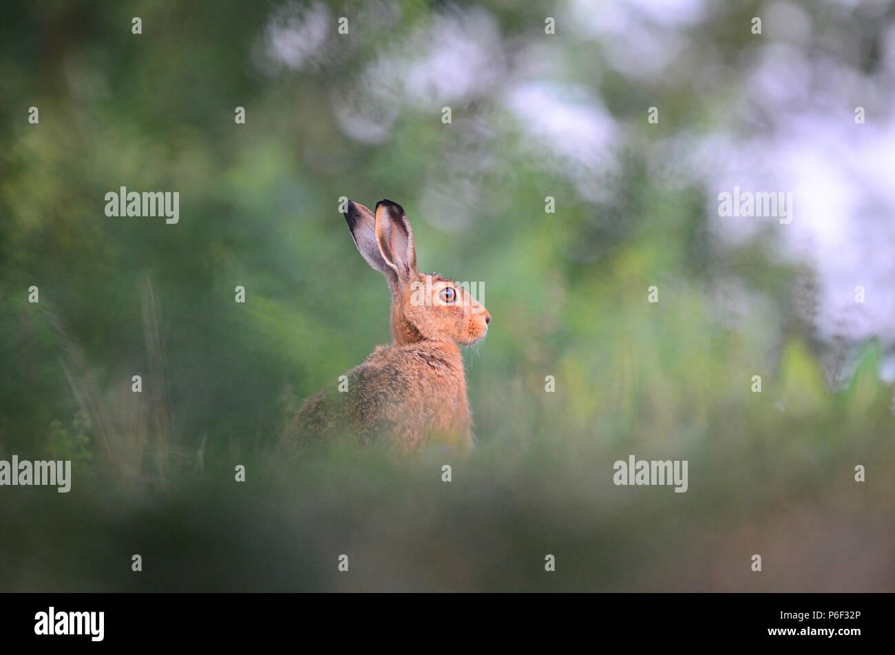 Jack Rabbit Hare en el desierto Imagen De Stock