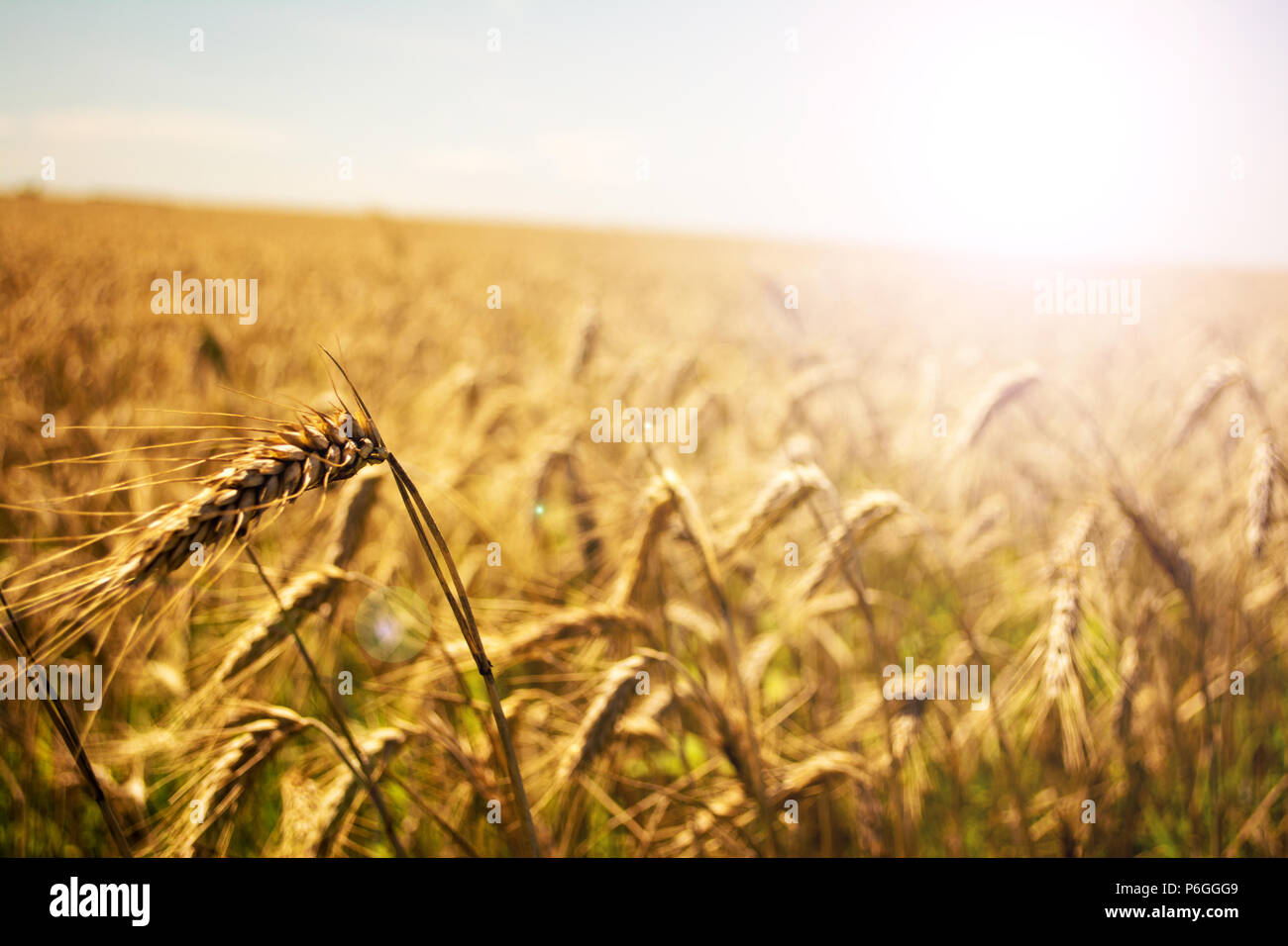 Campo de trigo. Espigas de trigo de oro de cerca. La naturaleza hermosa puesta de sol paisaje. Paisaje rural bajo la luz del sol brillante. Antecedentes de la maduración oídos de prado campo de trigo. Concepto de cosecha abundante. Soft Focus. Foto de stock