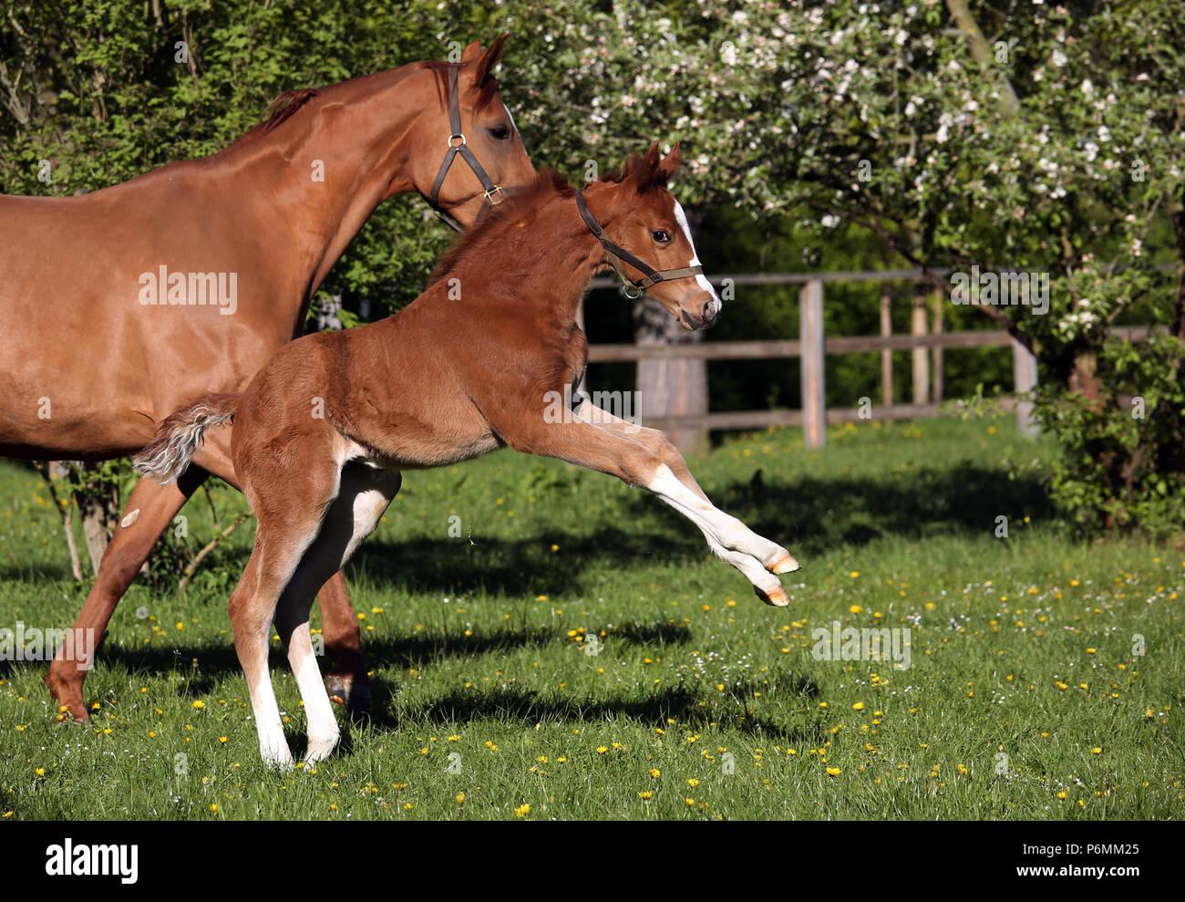 Clavos, Graditz foal sube a un paddock Imagen De Stock