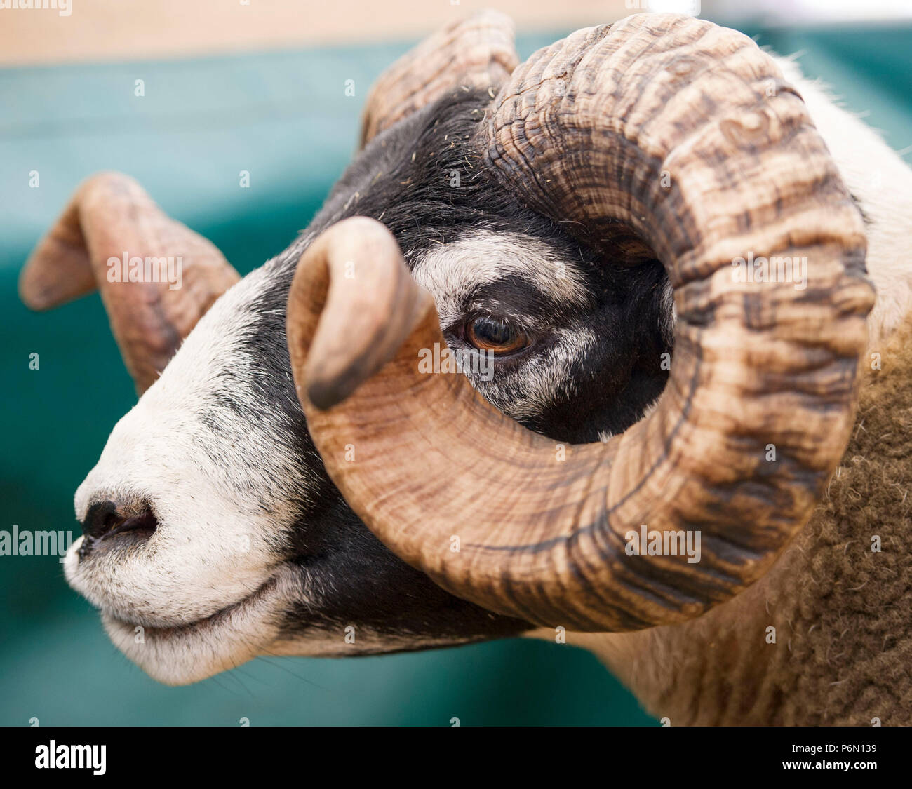 .RHS 2018: Retrato de una Ram Blacface en Royal Highland Show,Ingliston, Edimburgo, Escocia Imagen De Stock