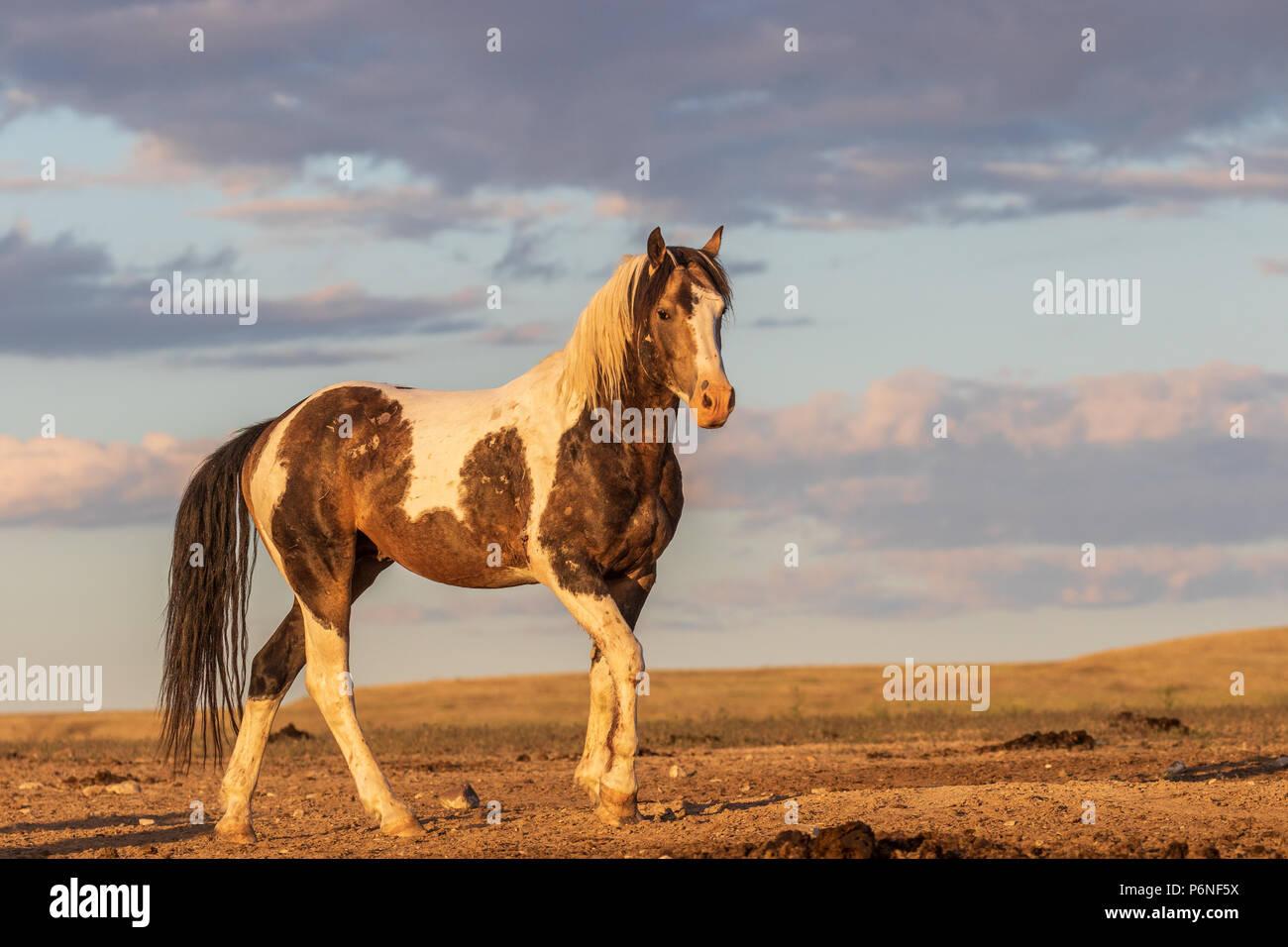 Wild Horse Stallion Imagen De Stock